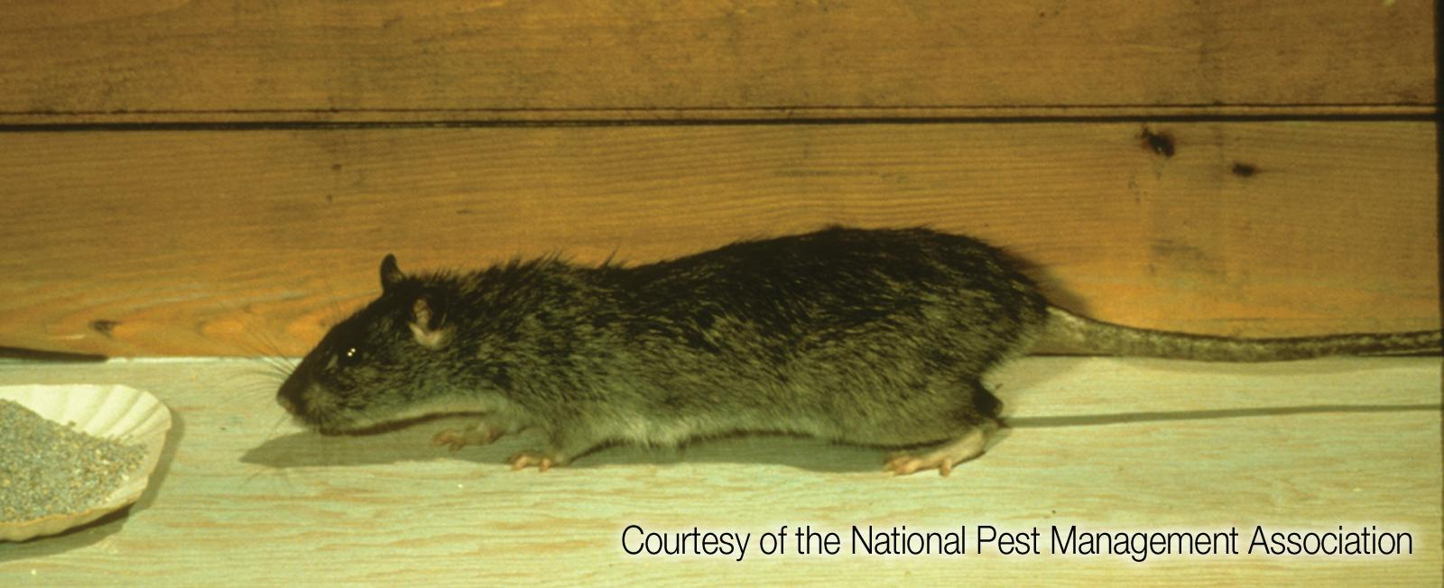 Norway rats are the worst rats in the Northwest. They are all over our area.{ }