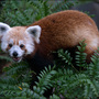 July 8: Zoo unveils baby red pandas, kid's pic with Obama goes viral, underwater rock fun