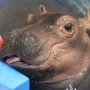Cincinnati Zoo preps for premature hippo's eventual transition from humans