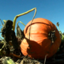 Local farmer's pumpkin patch helps build Nebraska agritourism
