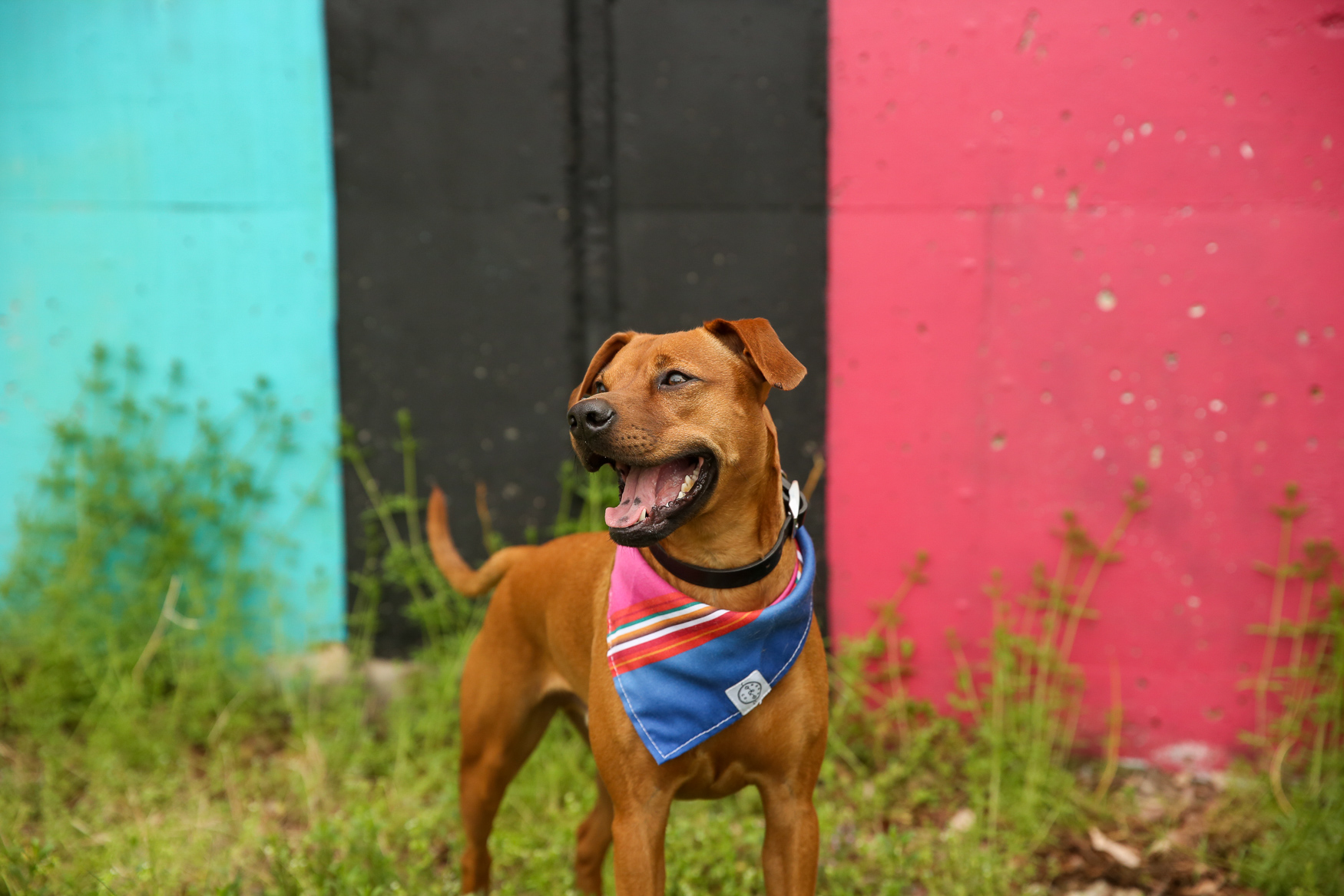 Meet Herbert, a two-year-old mutt! His doggie DNA test said he was 25 percent boxer, 25 percent jack russell, 12.5 percent chihuahua, 12.5 percent miniature schnauzer, 12 percent terrier/pitt and 12 percent mixed/sporting breed. Herbert was adopted form Homeward Trails in August 2017, about a month after his family's beloved cat, Dame Judi Dench, passed away. Herbert loves goldfish crackers, the neighbor dog Howard (his best friend), sleeping in a bed with his head on a pillow like a human, walks, eviscerating any soft toy in minutes and life in general. He dislikes when his human leaves the house, umbrellas, baths and metal grates/manhole covers. When Herbert smiles he wrinkles his face, closes his eyes and shows his teeth. It may look like he's growling, but that is his smile believe it or not! He is also happy to sit and give you high fives! If you're interested in having your pup featured, drop us a line at aandrade@dcrefined.com, but we do have quite the waiting list right now so we appreciate your patience! (Image: Amanda Andrade-Rhoades/DC Refined)