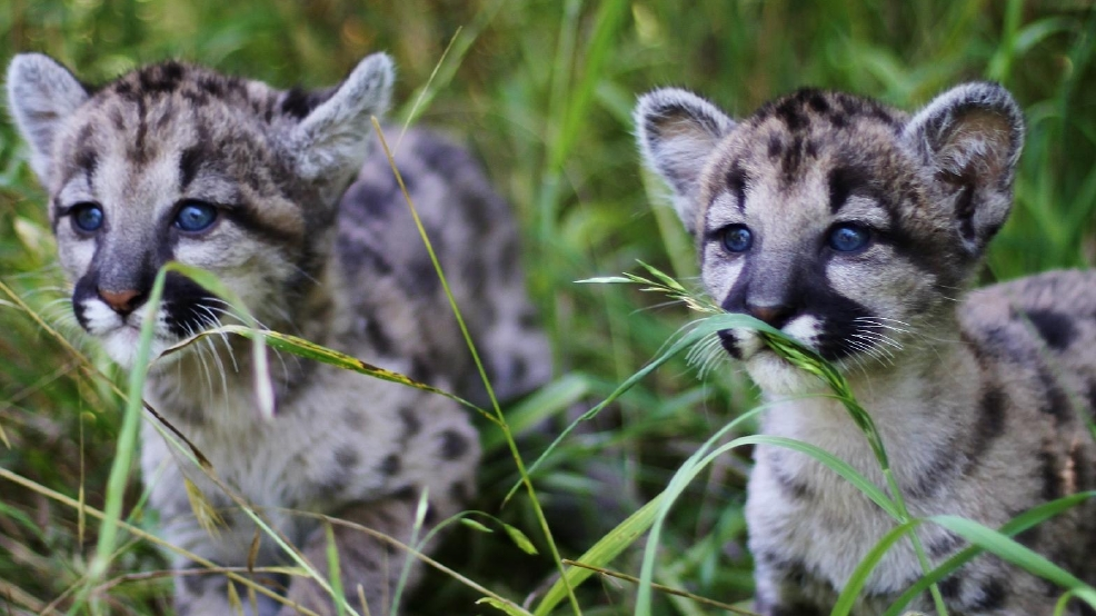 Help name these cute mountain lion cubs