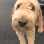 Tessa the goldendoodle back home with family