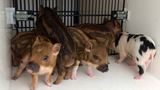 Pigs on the loose! Sheriff's Office rounds up rogue piglets