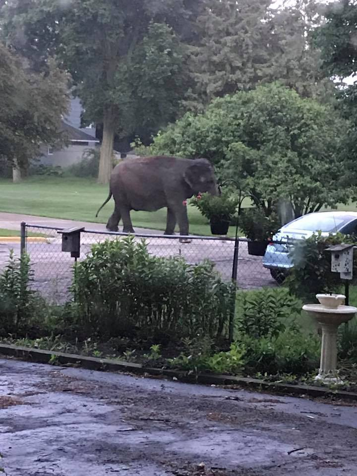An elephant walks through a yard in Baraboo June 30, 2017. (Photo courtesy Jaime Peterson)