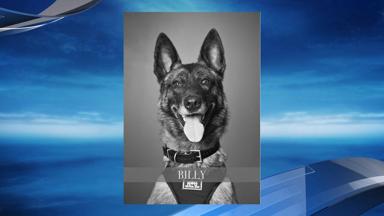 Hillsboro Police K-9 Billy suffered traumatic injuries when the patrol car he was traveling in was struck by another driver on Dec. 4, 2017. He was euthanized, police said. Photo courtesy Hillsboro Police Department