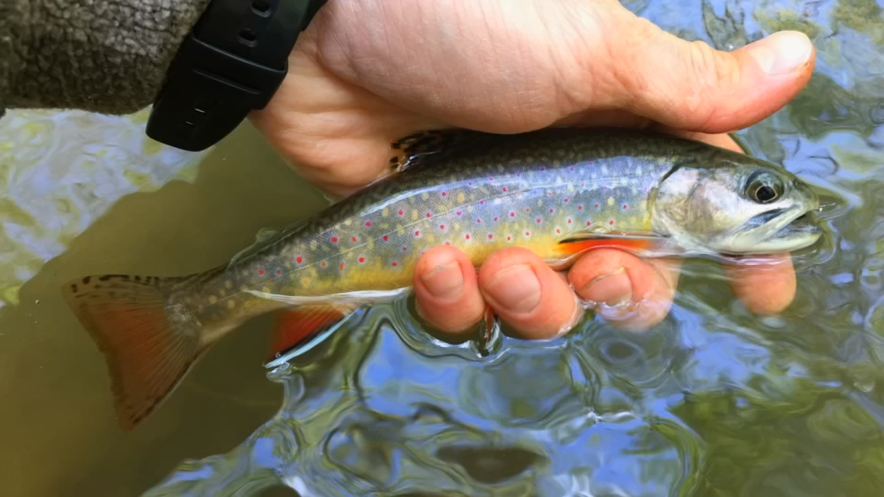 The brook trout is West Virginia's state fish. (WCHS/WVAH)