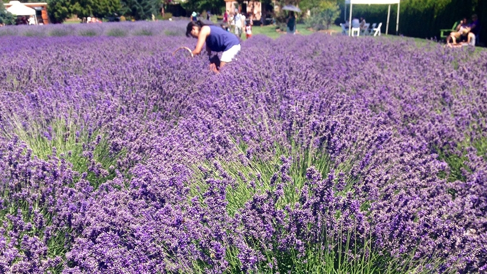 Make the most of your lavender farm visit | Seattle Refined