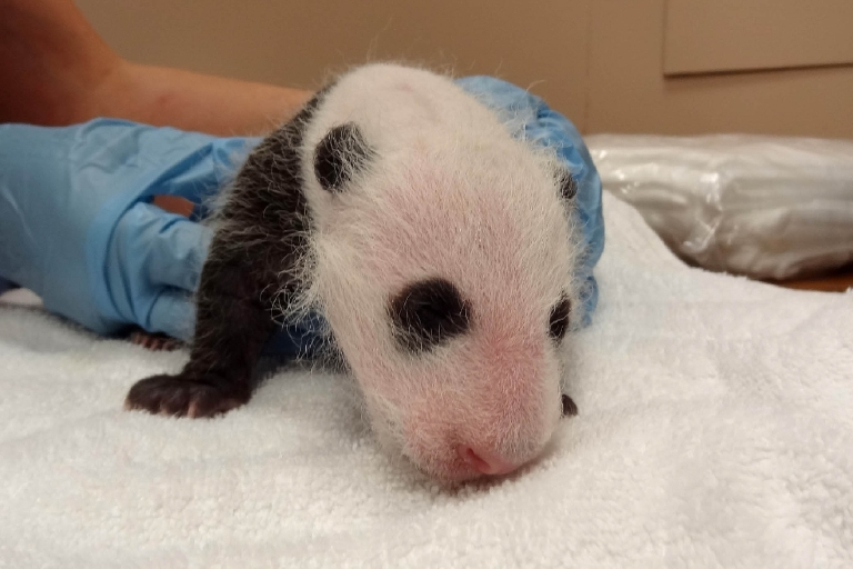 September 16, 2013 - Bao Bao's first checkup. (Courtney Janney, Smithsonian's National Zoo)