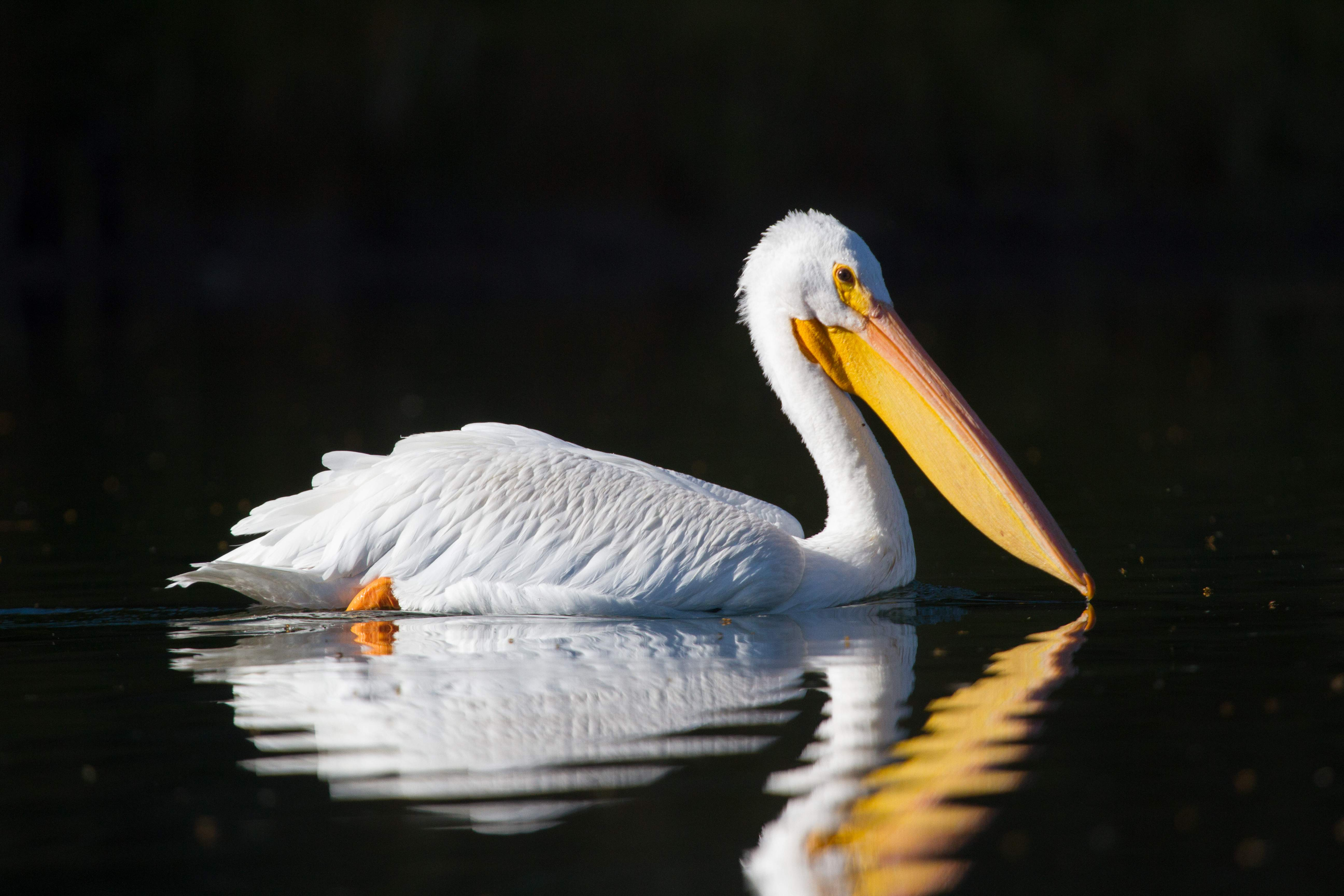 White pelican at Rocky Point - Photo by Gayle Mitchell Stokes