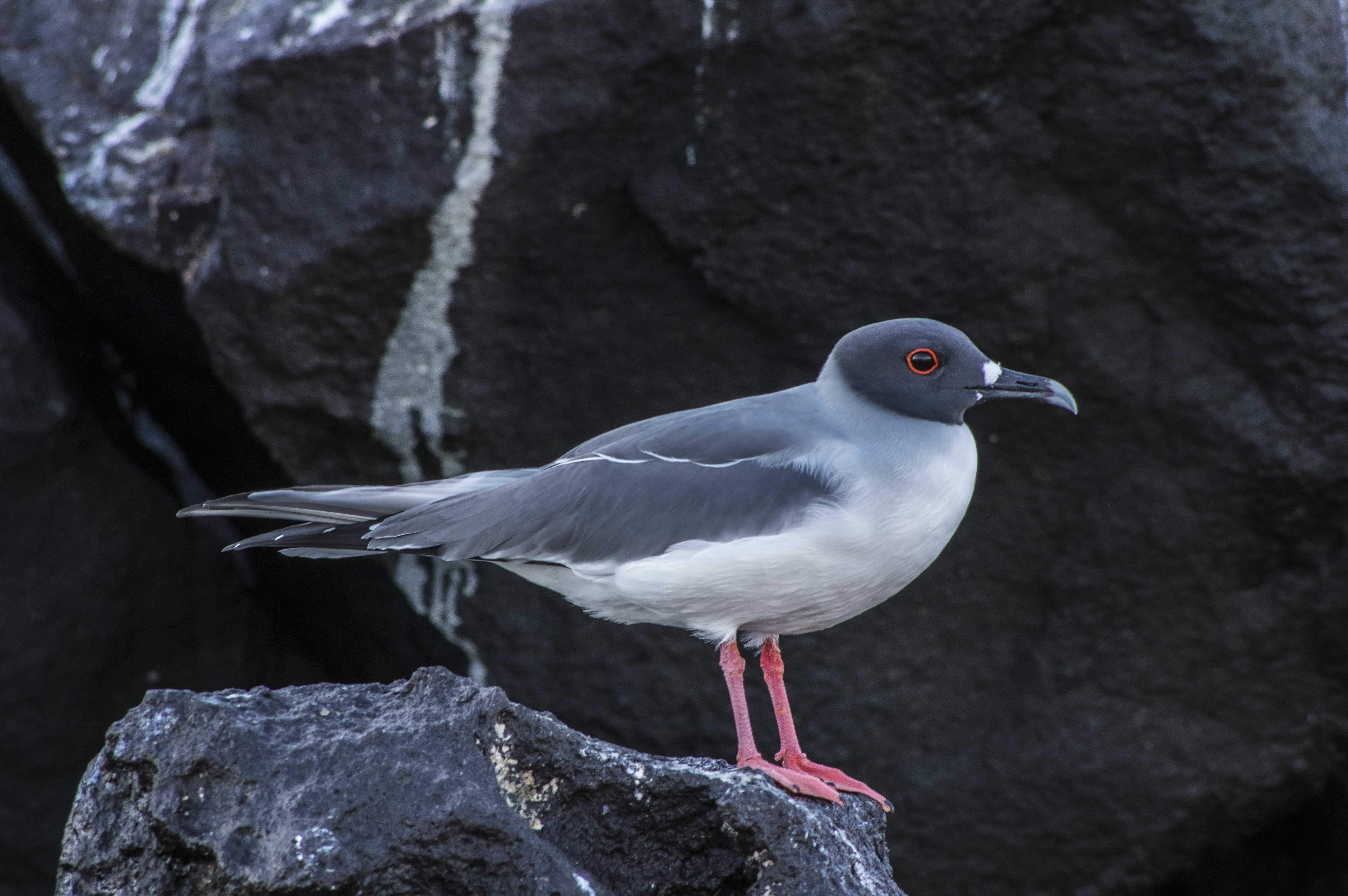 Swallow-tailed gull on a rock by the ocean in Galapagos, Ecuador - Photo by George Peterson