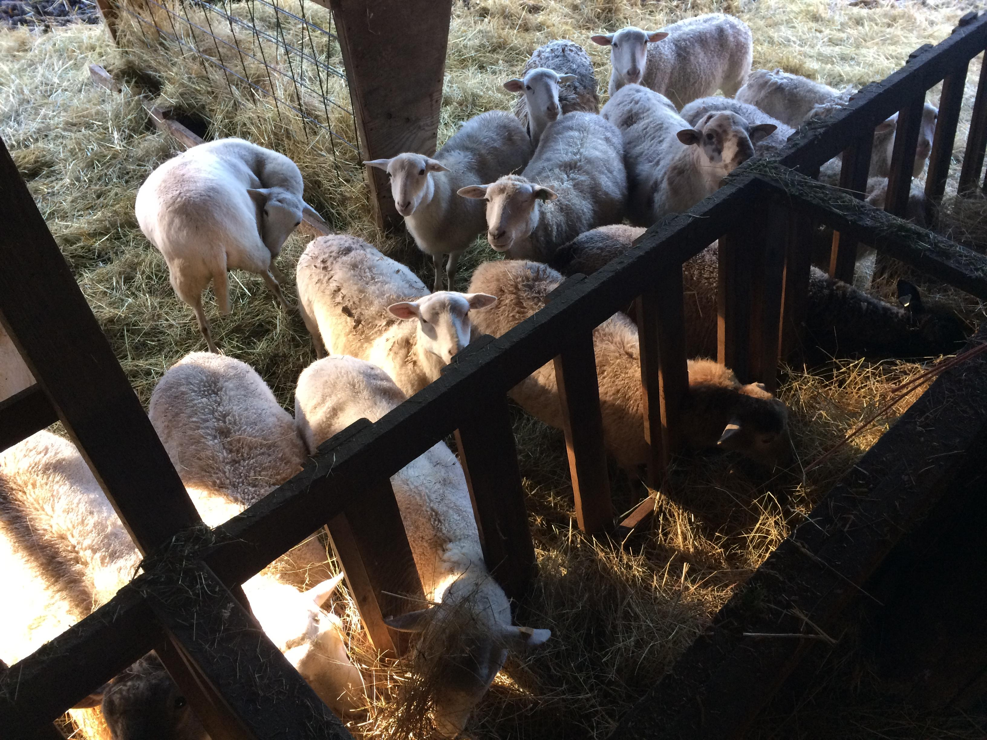 From city streets to rural lanes: The story of starting Leaping Lamb Farm from scratch