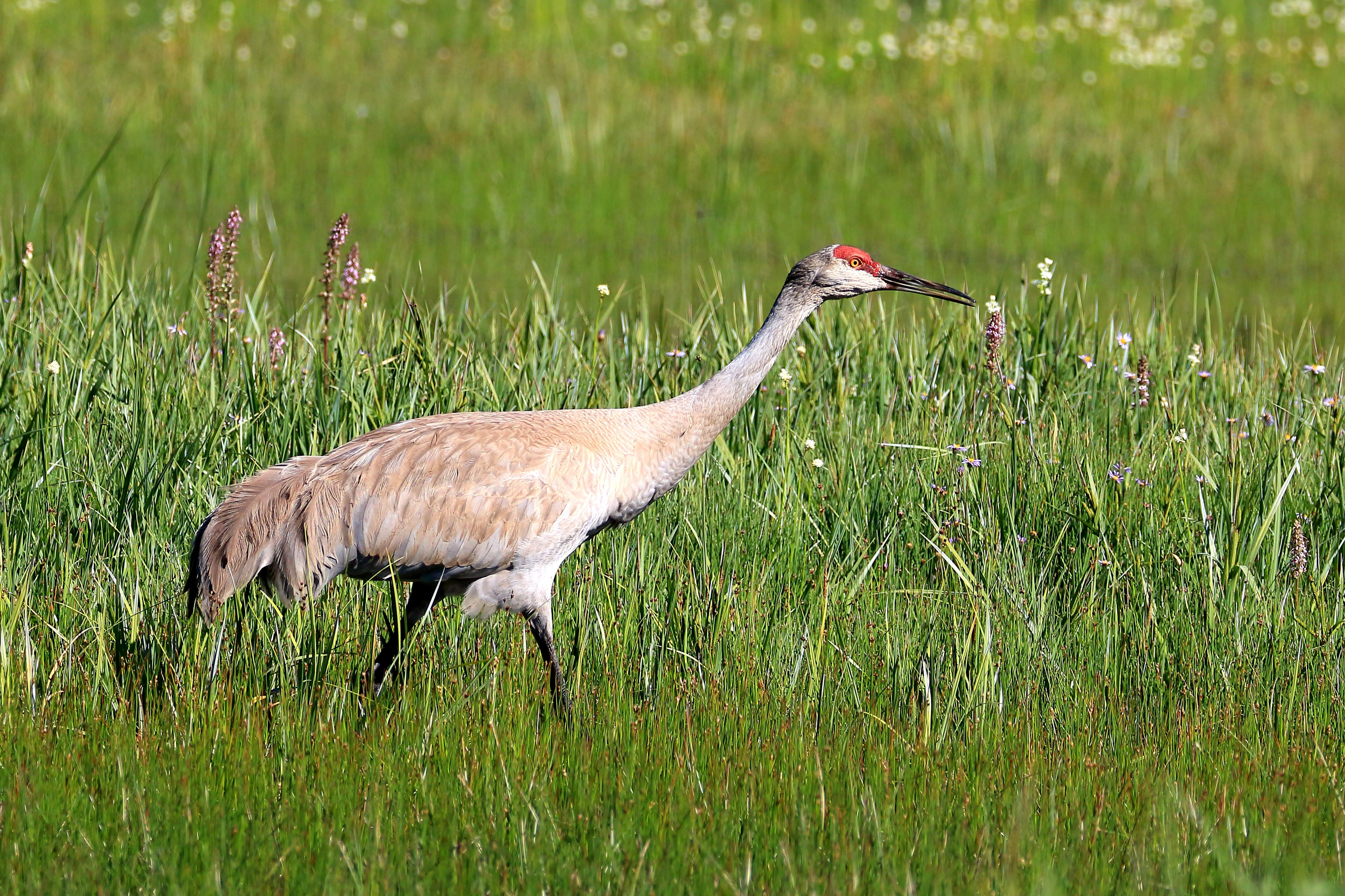 Sandhill crane at at Four Mile Lake. - Photo by Rick Shroy
