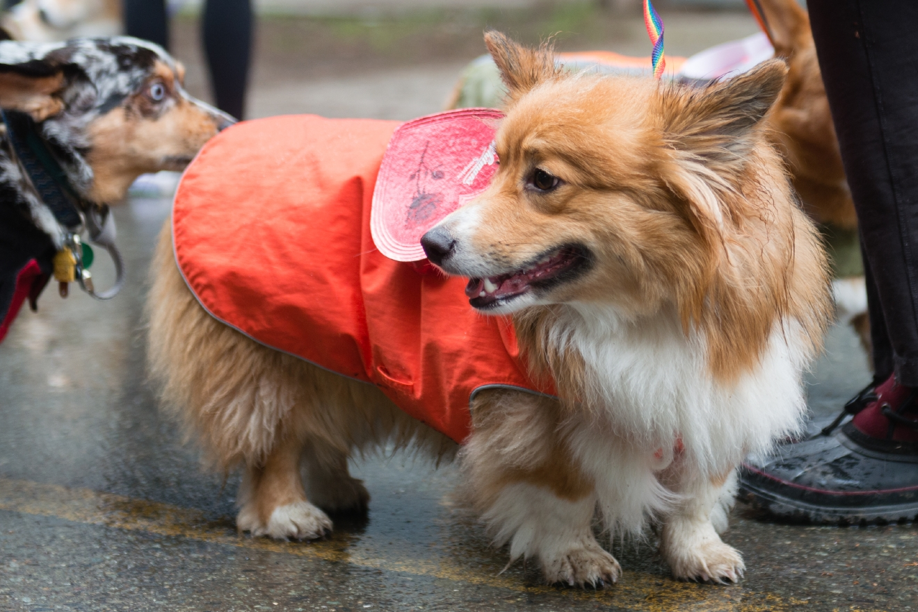 7 Top Tips For Throwing A Grand Party In A Small Home: Photos: Soggy Doggies Make The Annual Valentine's Corgi