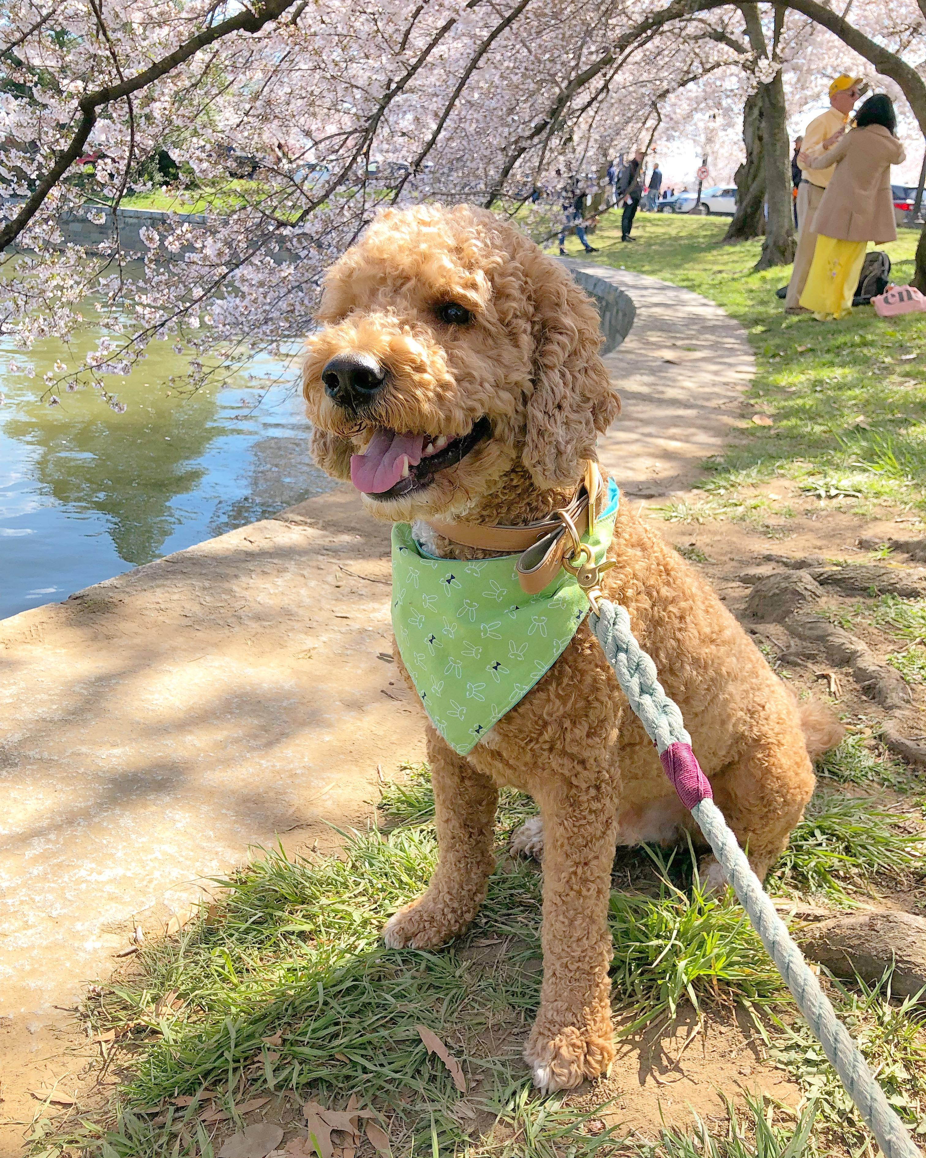 In honor of National Pet Day (which is basically like Christmas around here!) we checked in on a few of our favorite Instagram stars to see what they've been up to lately, and we noticed many of them had paid a visit to D.C.'s beloved blossoms. So for this week's special RUFFined Spotlight, we give you some adorable four-legged admirers of the cherry blossoms! (Image: via IG user @liamfitzdoodle / instagram.com/liamfitzdoodle/)