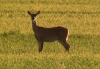 Deer in field.JPG
