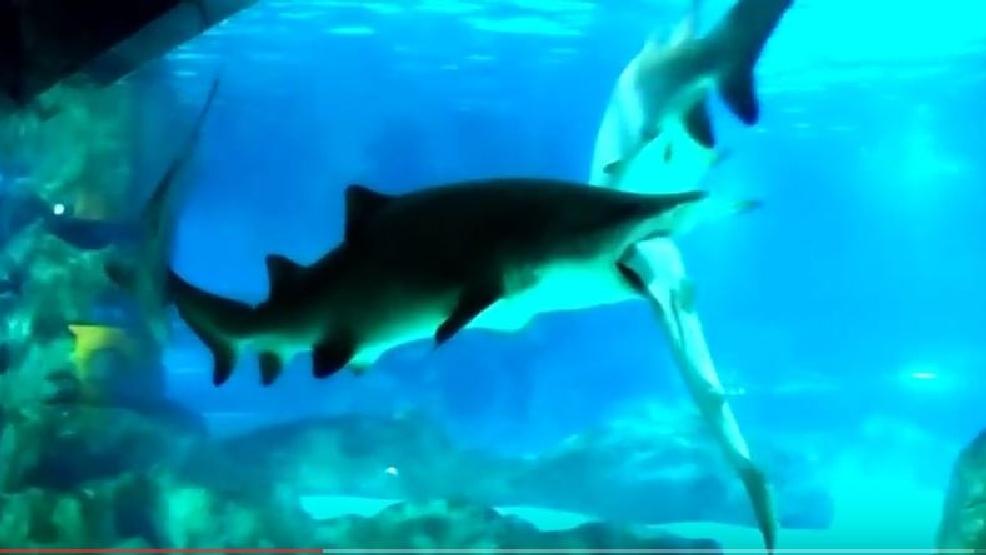 Video Shark Eats Shark In Aquarium Attack Wpec
