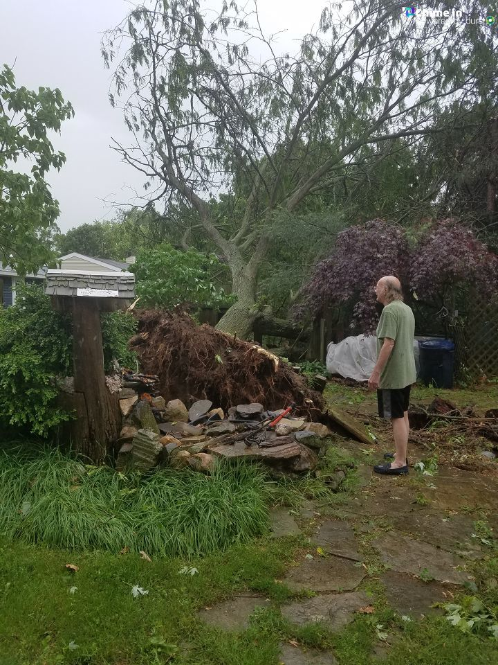 A tree in Bronson bears its roots after falling in the storms, knocking out a neighbor's fence and then two nearby pine trees on the way. (WWMT/Chime In, Donna Taylor)
