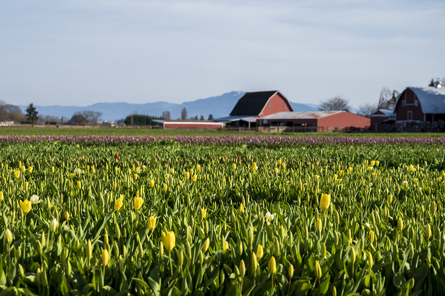 Andrew Miller, Tulip Town co-owner, farmer, and CEO, says they grow 70 different varieties of tulips, 50 in the field and another 20 in the gardens and in mixed rows. (Rachael Jones / Seattle Refined)