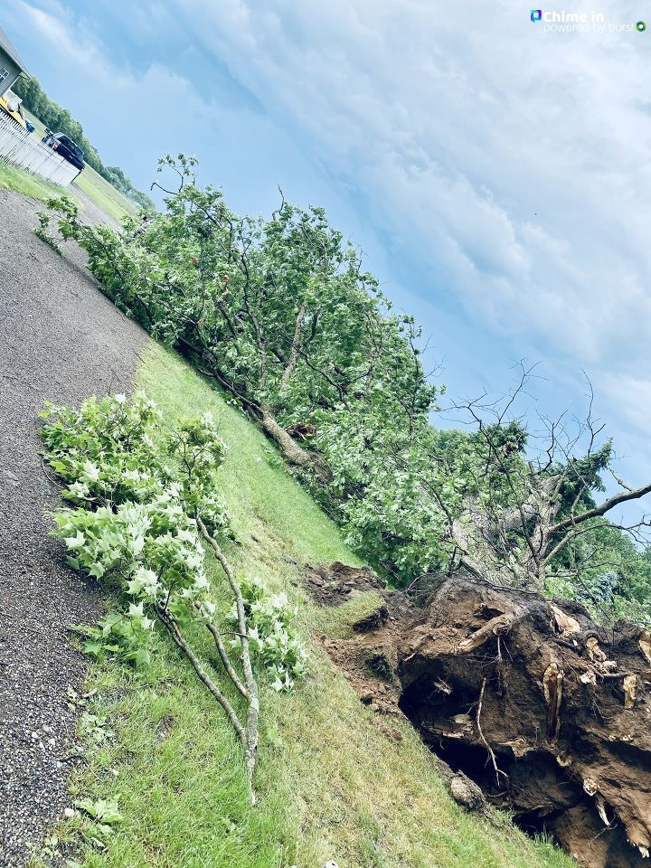 Property owners in Schoolcraft, Michigan, estimate this white oak tree, uprooted in the June 10-11 storms that swept the region, was about 180 years old. The tree's circumference was about 16 feet at the base. (WWMT/Chime In, Tammie Fowler)