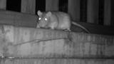 FOX 11 Investigates: Rats in Green Bay