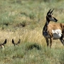 IDFG: Who's responsible for killing 28 pronghorns in 'most offensive' poaching case?