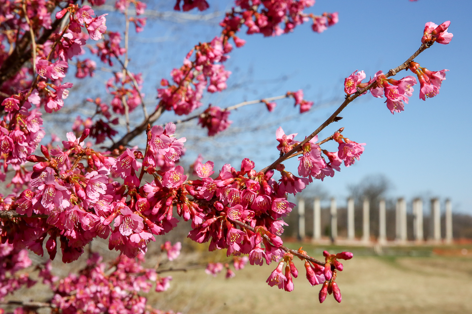 The National Arboretum is also a safe bet for blooms, but you won't be able to access the cherry trees in the Azalea garden because it's currently home to some nesting bald eagles.{&amp;nbsp;} (Amanda Andrade-Rhoades/DC Refined)<p></p>