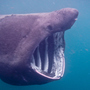 Abnormally large basking shark groups seen off northeast coast