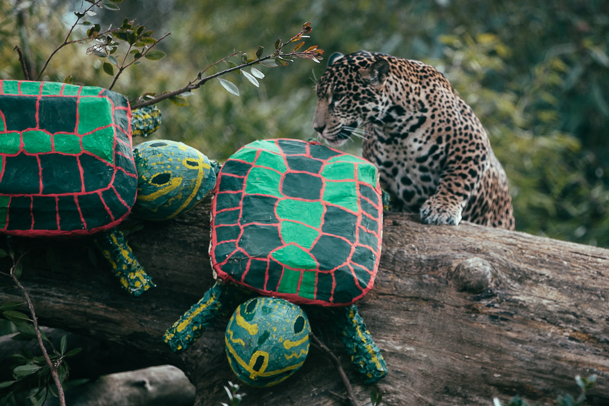 Woodland Park Zoo's three jaguar cubs turn one-year-old this Saturday. To celebrate the big day, the cubs were treated to festive turtle shaped birthday piñatas scented with their favorite, most enticing spices. (Joshua Lewis / Seattle Refined)