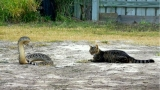 Rattlesnake and cat square off in Texas