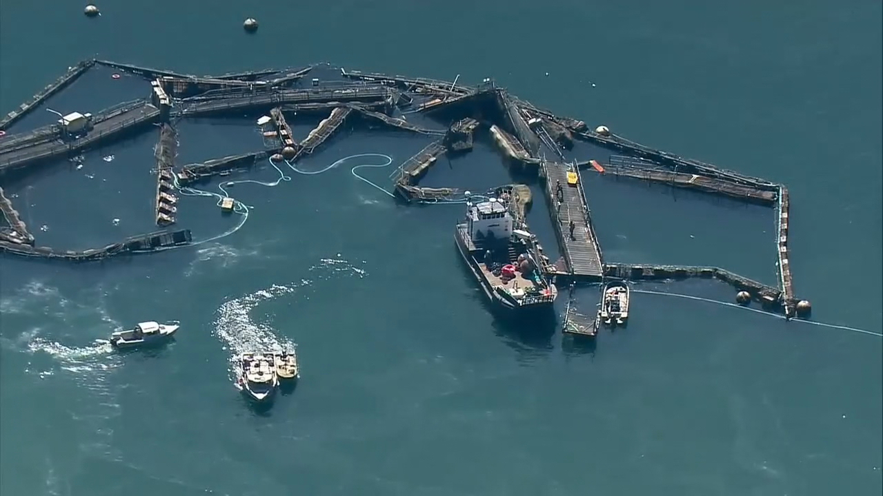 FILE PHOTO: Aerial images from Air 4 show a broken net pet after a massive Thousands of farmed Atlantic salmon have been pulled from Puget Sound