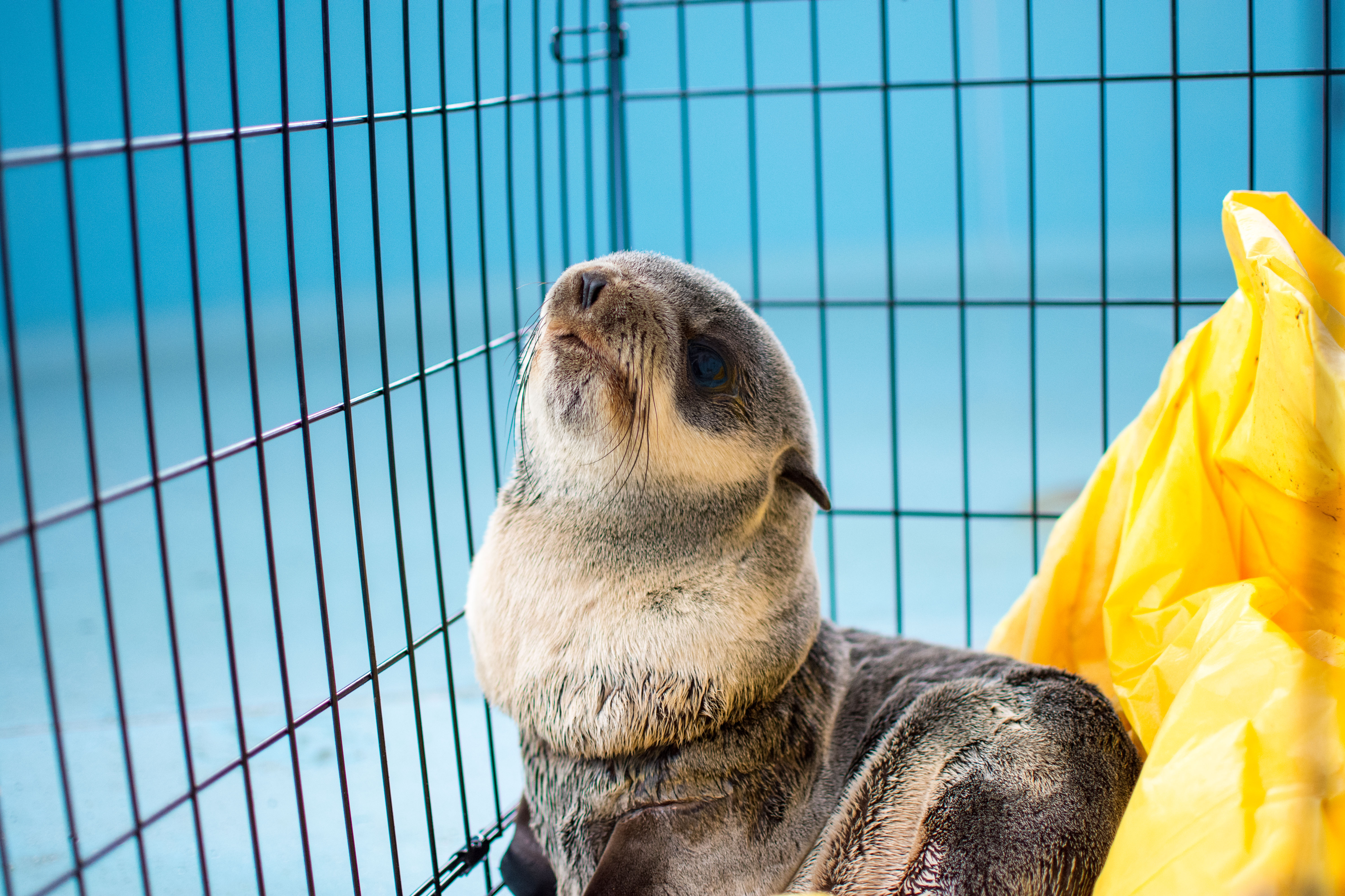 "<p>Jim Burke, Oregon Coast Aquarium Director of Animal Husbandry, said a swift return to the wild is in the animal's best interest.</p><p>""The sooner the pup is released, the better,"" said Burke. ""The animal would not have survived without being dis-entangled. He is stronger today now that we've removed the entanglement and administered multiple courses of antibiotics. The best thing is to get the pup back in the water where it can hunt for food. Luckily, the wound appears superficial."" (Oregon Coast Aquarium)</p>"