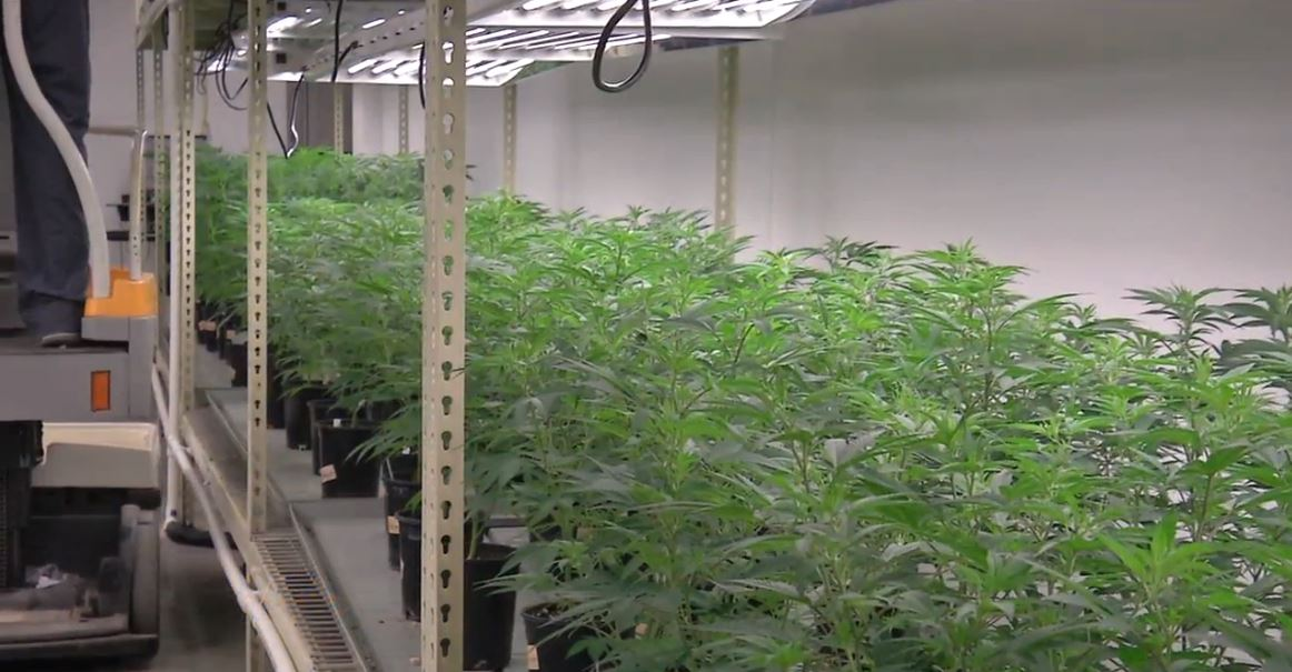 The cultivation center turns the plant into product that's then sold by dispensaries to medical marijuana patients all around the state. (WRSP)