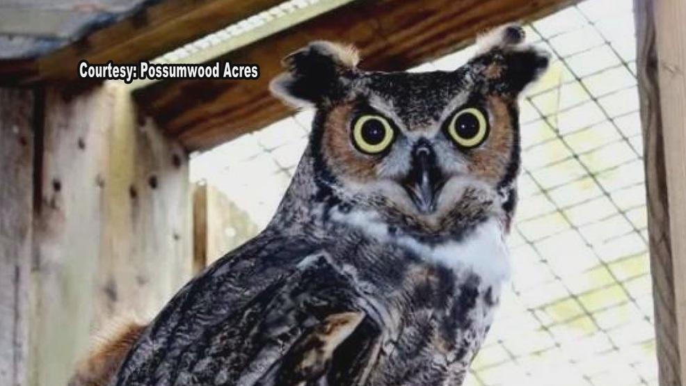 wildlife sanctuary searches for owl wcti