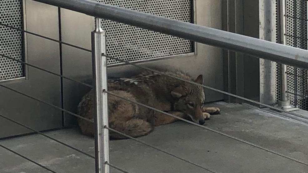 Coyote found on state museum\'s 4th-floor outdoor mezzanine | WSTM