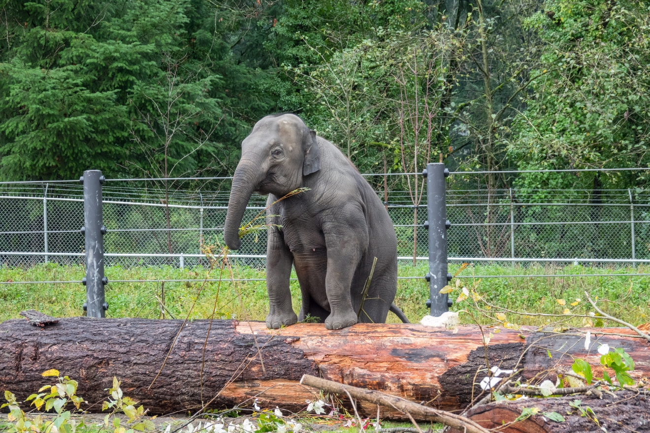 Asian elephant calf Lily plays with new logs donated by the Word Forestry Center in Elephant Lands at the Oregon Zoo. © Oregon Zoo / photo by Kathy Street.