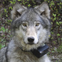 2 wolves monitored by wildlife officials found shot dead