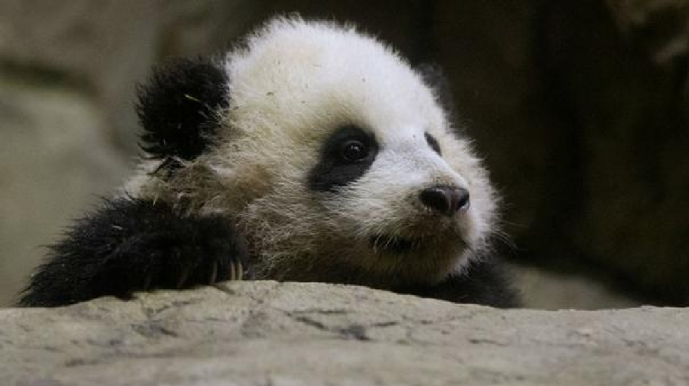 Bao Bao National Zoo plans party for pandas first birthday WJLA