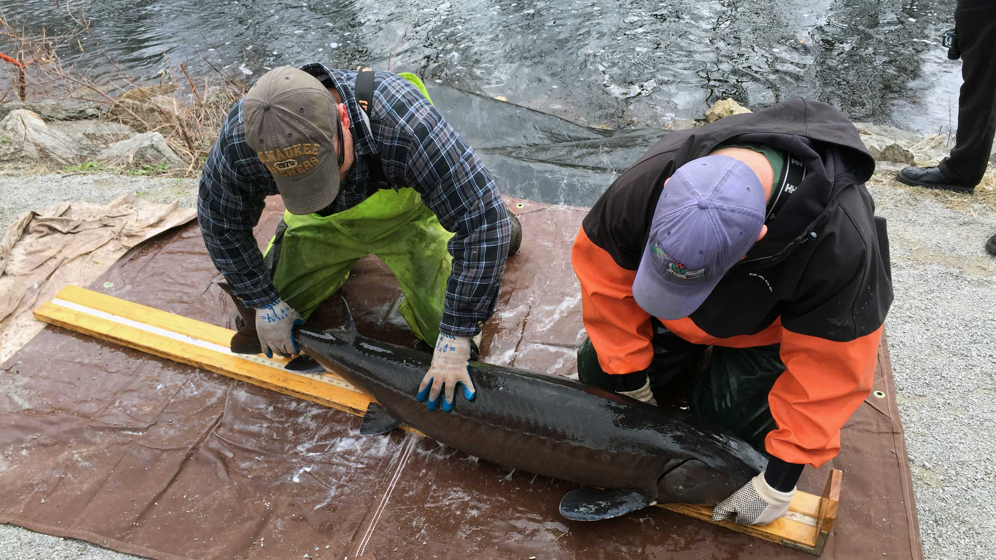 Wisconsin Department of Natural Resources workers measure a sturgeon that was captured while spawning in the Wolf River at Bamboo Bend in Shiocton April 17, 2017. (WLUK/Eric Peterson)