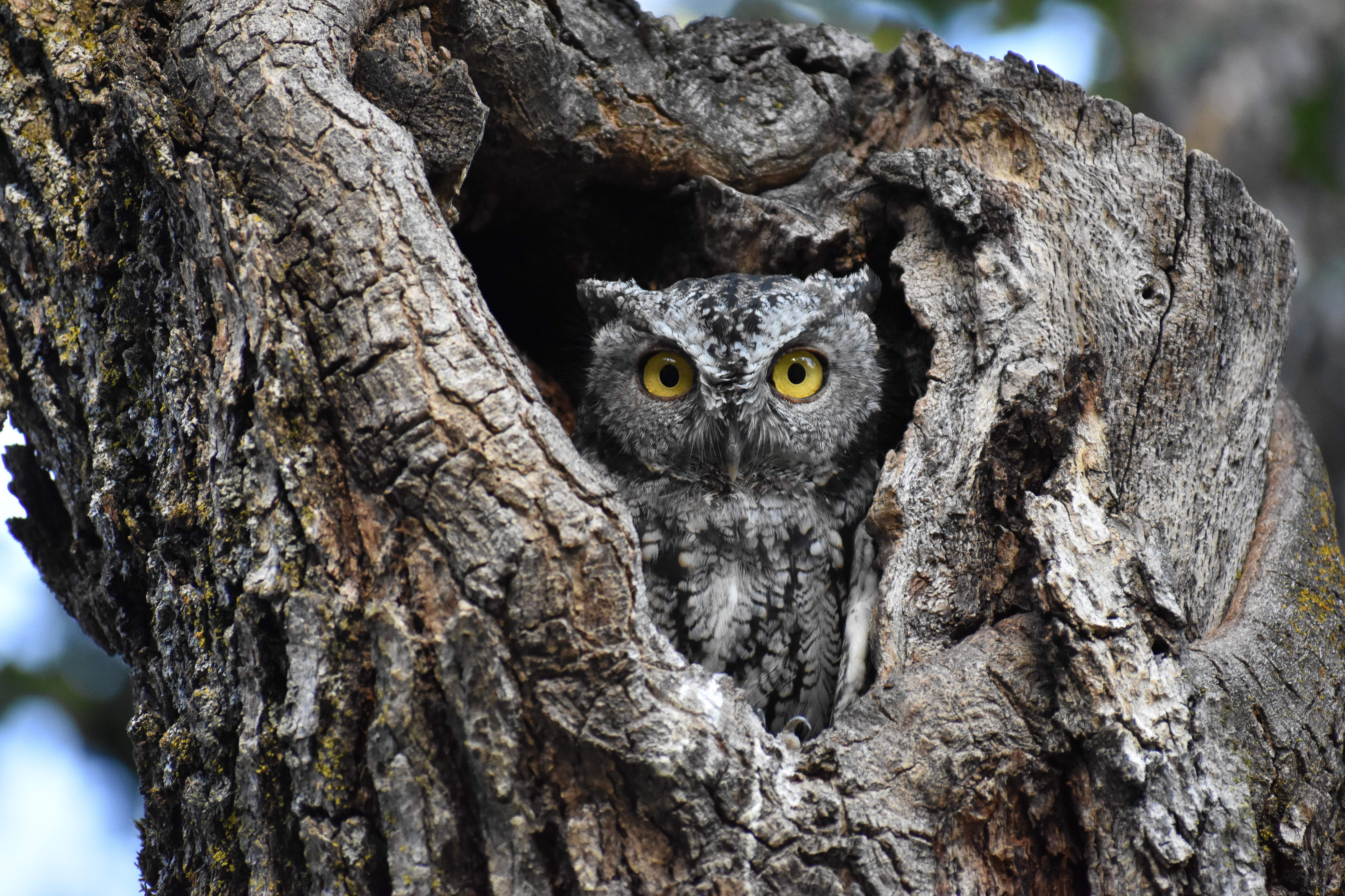 Western screech owl at a local park in Medford. - Photo by Aaron Peterson
