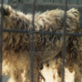 Puppy mills continue to plague Missouri, Iowa