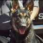 K-9 officer euthanized after suffering from aggressive cancer