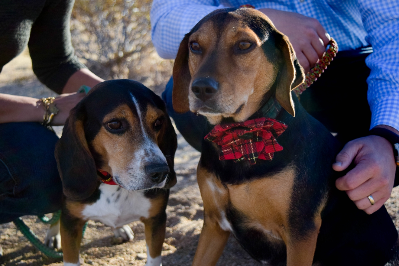 "Three years after adopting Daisy from a shelter, they got Archie from the rescue organization Beagles and Buddies, so they could entertain each other, keep each other company and learn to share. ""Daisy and Archie are our children,"" Jodie says, beaming. (Image: Courtesy Jodie Grimm)"