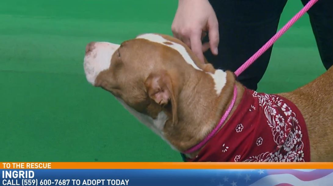 Amanda Allen from Fresno Humane Animal Services visited Great Day with a dog looking for a good home.