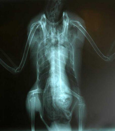 An adult male mallard was brought to the International Bird Rescue Research Center in 2006, with what appeared to be a broken wing. Researchers found an alien face in its stomach following an Xray. A necropsy showed the stomach had only grain in it.