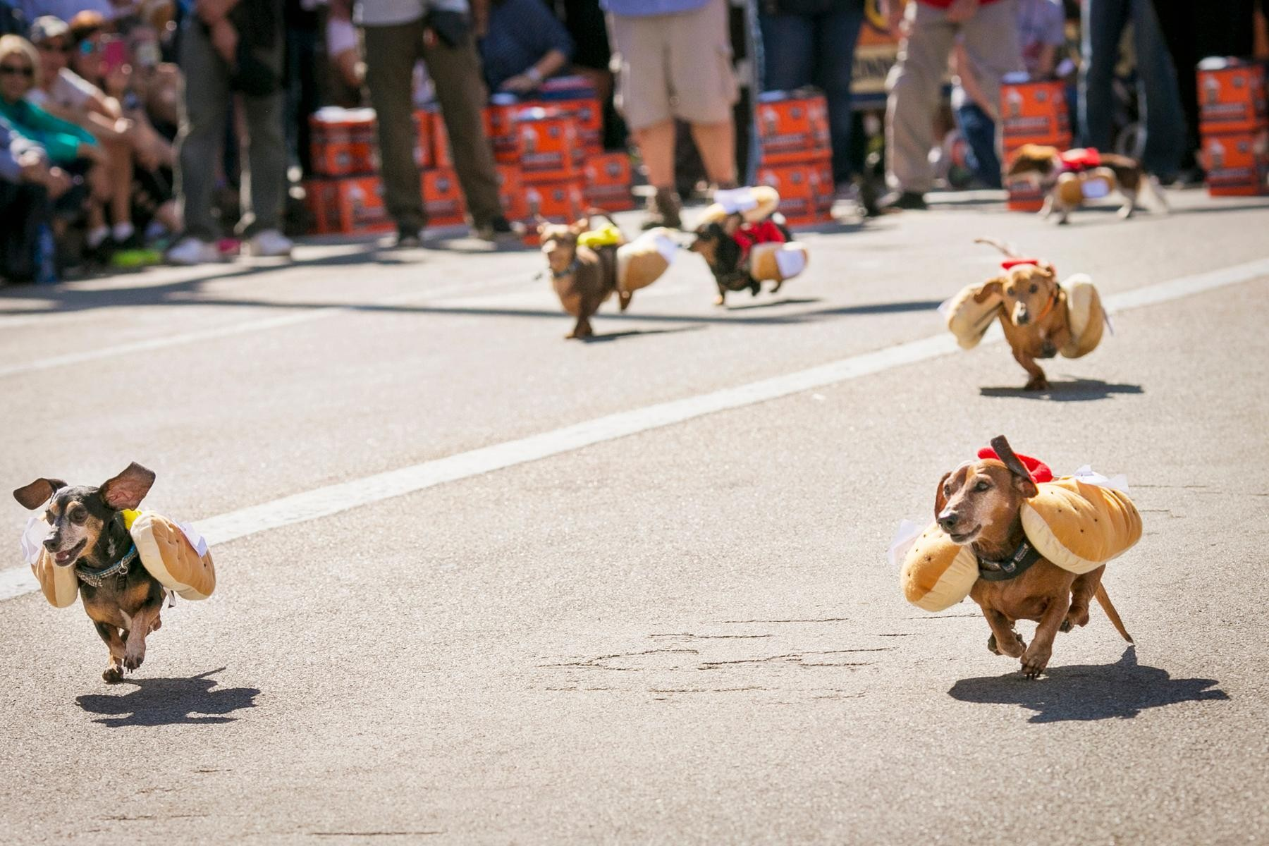 Event: Wiener Dog Race (9.15.17) / Image: Mike Bresnen Photography / Published: 10.1.17