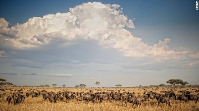 No sight in the world replicates the timeless drama of tens of thousands of wild beasts charging across the African plains in search of food and water while pursued by their predators.