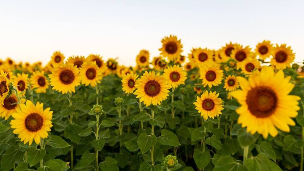 deerfield township sunflower field attracts shutterbugs wkrc