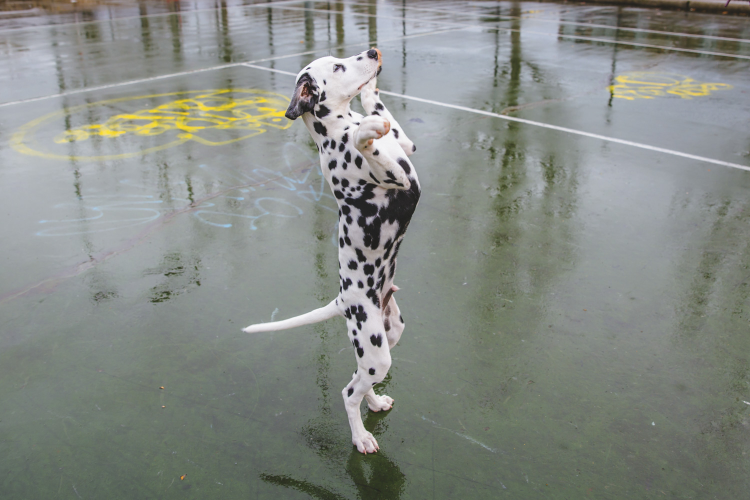 Everyone please meet Domino! Domino is a 5-month-old Dalmatian baby who is a sweet and smart pup who loves meeting new friends, both dog and human, and doing tricks for treats! Domino likes going to Dogwood Play Park, squeaky toys (especially if they have peanut butter in them), his Teddy bear and going on walks. He dislikes being left alone, the vacuum cleaner, rolling suitcases and the rain. You can follow Domino's journey through life at @domino.the.dalmatian_. The Seattle RUFFined Spotlight is a weekly profile of local pets living and loving life in the PNW. If you or someone you know has a pet you'd like featured, email us at hello@seattlerefined.com or tag #SeattleRUFFined and your furbaby could be the next spotlighted! (Image: Sunita Martini / Seattle Refined).