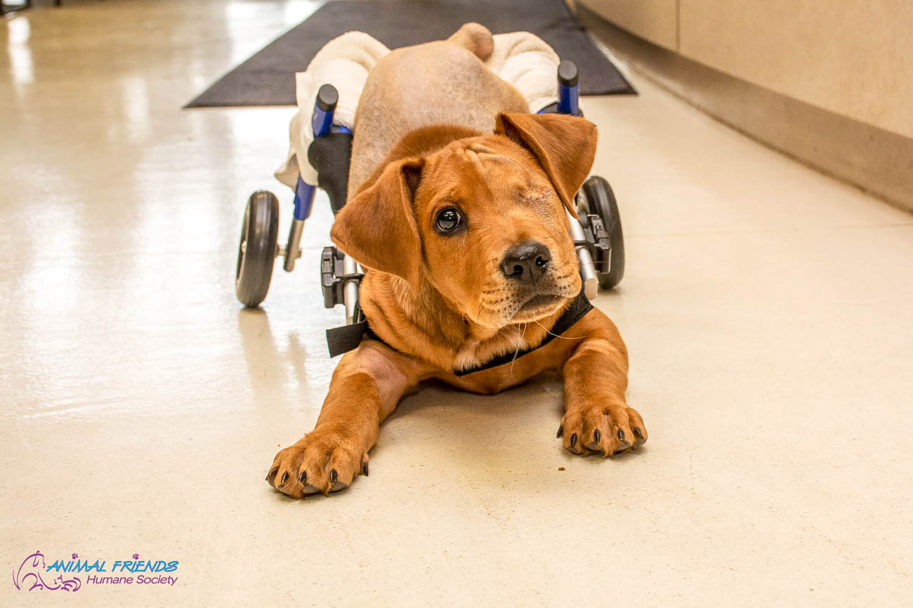 Trooper was one in a litter of 10 puppies born in December of 2018. A few months later, he and his brother were abandoned by their owner's son in a Hamilton park. He was hit by a train and had life-saving surgery in March of 2019. He made it through but lost both his hind legs, his tail, and an eye. He was adopted on April 5th from Animal Friends Humane Society by Betsy Forman and her family. Trooper found his forever home with seven canine siblings waiting for him. Today, he's a healthy, happy dog on a mission to make a difference and bring joy to everyone he meets. / Image courtesy of Animal Friends Humane Society // Published: 9.8.19